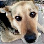 Пропала собака по кличке Дружок ноты